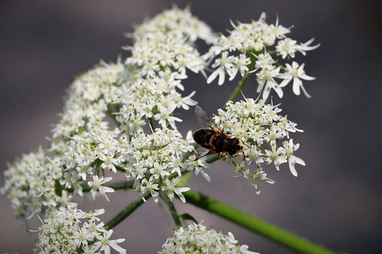 Bee Insect Animal Nature Nature Photography Canon Canonphotography Canon 70d Kralingseplas Kralingsebos Rotterdam Holland Netherlands Thenetherlands Flower Plant Wings Fly White Flower Pretty Picture Focus Close Up Insect Sunny Sunshine