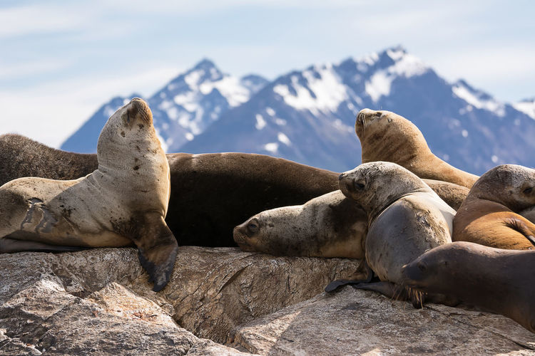 Seals relaxing on rock during winter