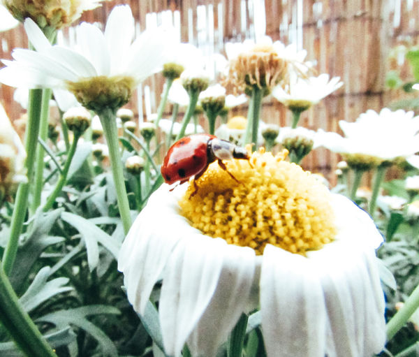 Beauty of the Nature. Animal Themes Animal Wildlife Animals In The Wild Beauty In Nature Close-up Daisy Flower Day Flower Flowers Fragility Freshness Growth Insect Lady Ladybird Ladybug Ladybugs Leaves Nature No People One Animal Petal Plant Spring Texture