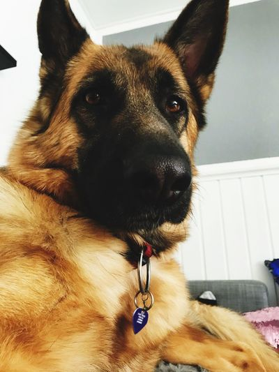 HernameisFie German Shepherd EyeEm Selects One Animal Domestic Pets Domestic Animals Mammal Canine Dog Close-up Animal Head