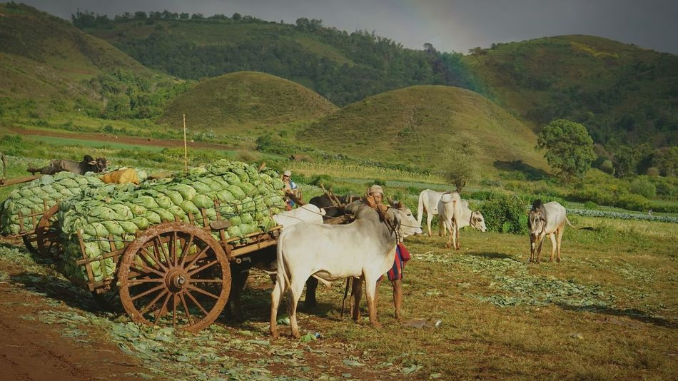 A farmer and his companion #Myanmar #asia #southeastasia #Bond #rainbow #cowboy #Moment #green Agriculture Field Outdoors Domestic Animals Landscape Nature Day Mammal Animal Themes