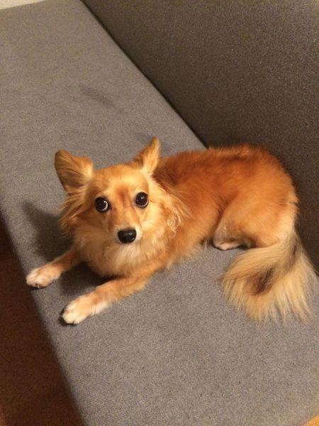 Dog Chihuahua Mixdog チワワ チワックス 犬