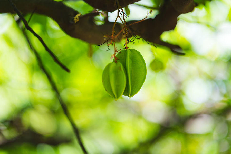Star fruit tree Focus Object Star Fruit  Beauty In Nature Branch Close-up Day Focus On Foreground Food Food And Drink Freshness Fruit Tree Fruits Green Color Growth Hanging Leaf Nature No People Outdoors Plant Plant Part Selective Focus Tranquility Tree
