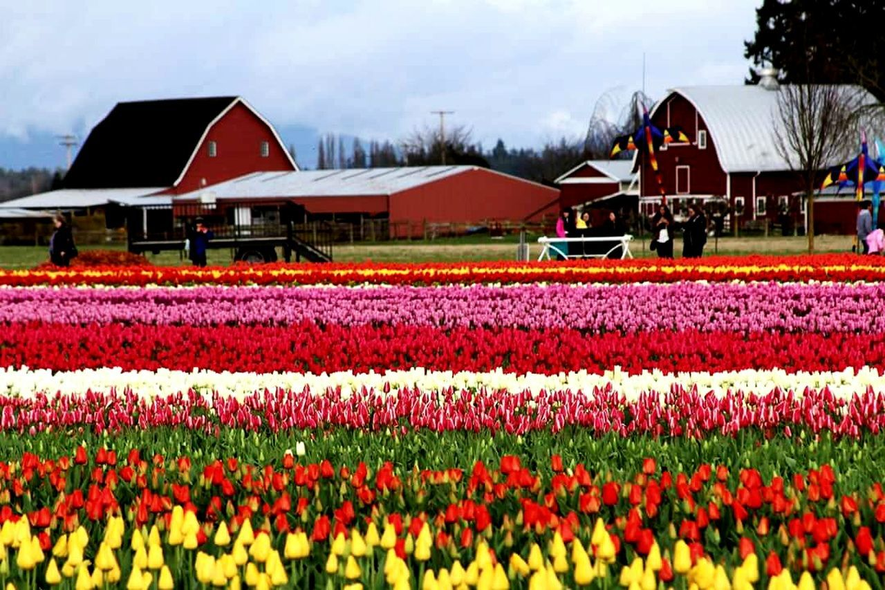 flower, red, growth, freshness, nature, field, day, multi colored, beauty in nature, plant, outdoors, tulip, flowerbed, landscape, blooming, fragility, sky, no people