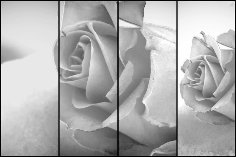 Artistic photo of a Rose in black and white Rosé Flower Rose - Flower Art And Craft Creativity Flower Head Digital Composite Plant Nature Beauty In Nature Grief Sorrow Art Artistic Card Postcard Condolence Beauty In Nature Black And White Emotion Hope Death Love Belief