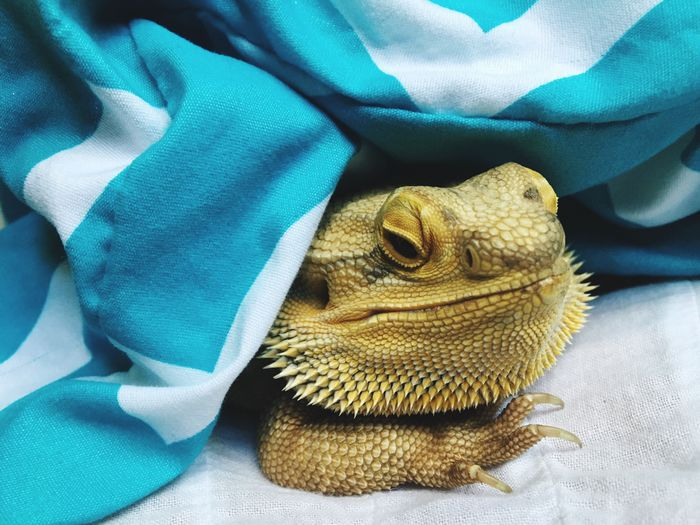 Close-up of lizard under blanket