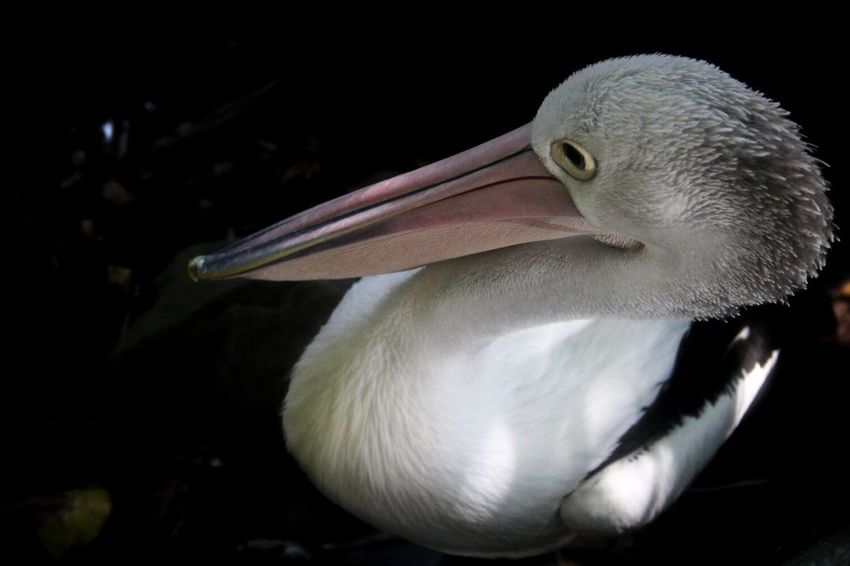 Pelican Bird Nature Animals Close-up Black Background Day No People Beak Australia Cairns