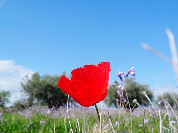 Nature Beauty In Nature Flower Growth Nature Beauty In Nature Field Plant EyEmNewHere Poppy Red Springtime Colors Colorful Flowers The Great Outdoors - 2017 EyeEm Awards