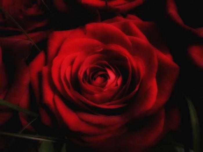Red rose Rose Head Red Rose Dolefulness Sadness Sorrow Flower Rose - Flower Petal Nature Red Flower Head Fragility