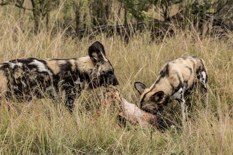Mammal No People Grass Nature Wild Dog Painted Wall Africa Beauty In Nature Wildlife Wildlife Photography Animal Wildlife Group Of Animals Plant Animals In The Wild Domestic Animals Day Survival Land Vertebrate Two Animals Field Domestic Young Animal