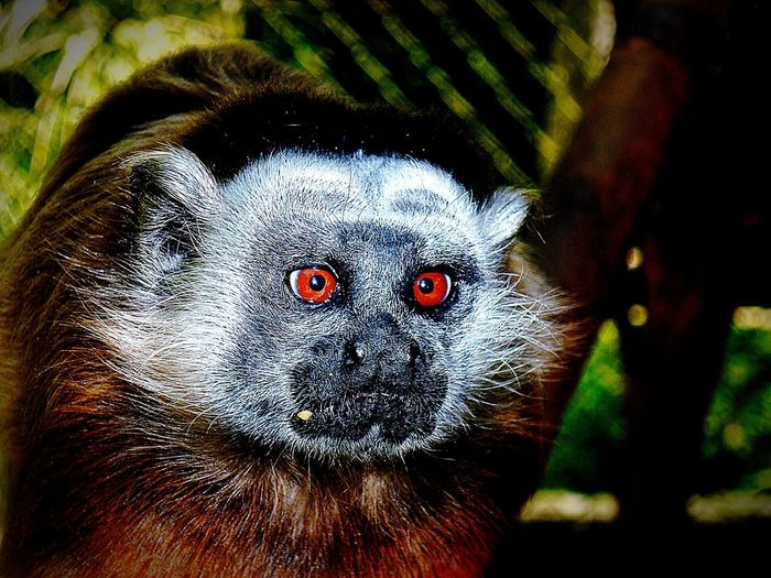 TitigrisClose-up No People Animal Themes Outdoors Nature Day Colombia ♥  Beauty In Nature Animal Wildlife Animals Cafam Melgar Colombia Titigris Mono Monkey