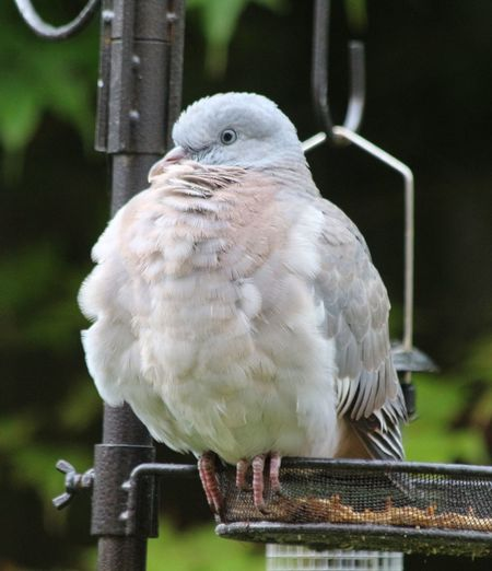 Baby pigeon having a fluff moment Baby Wood Pigeon Bird Vertebrate Animal Wildlife One Animal Animals In The Wild Perching Focus On Foreground Close-up No People Nature Outdoors Day Beak Beauty In Nature
