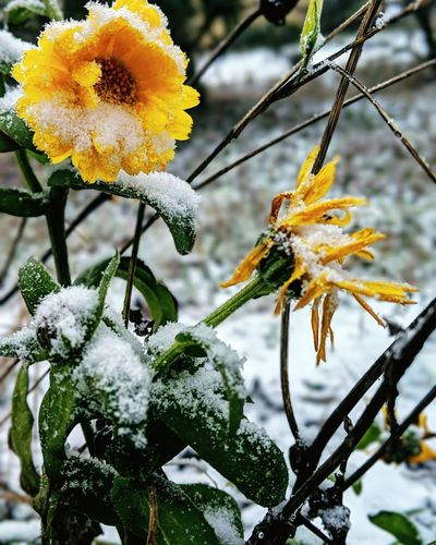 Close-up of yellow flowering plant during winter