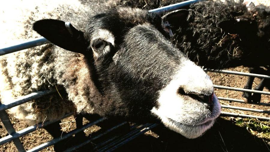 Say Hi Sheep