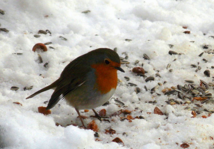 Feeding time Animal Themes Animal Wildlife Animals In The Wild Beauty In Nature Bird Cardinal - Bird Close-up Cold Temperature Covering Day Feeding Time :) Food Nature No People One Animal Outdoors Perching Snow Songbird  Weather Winter