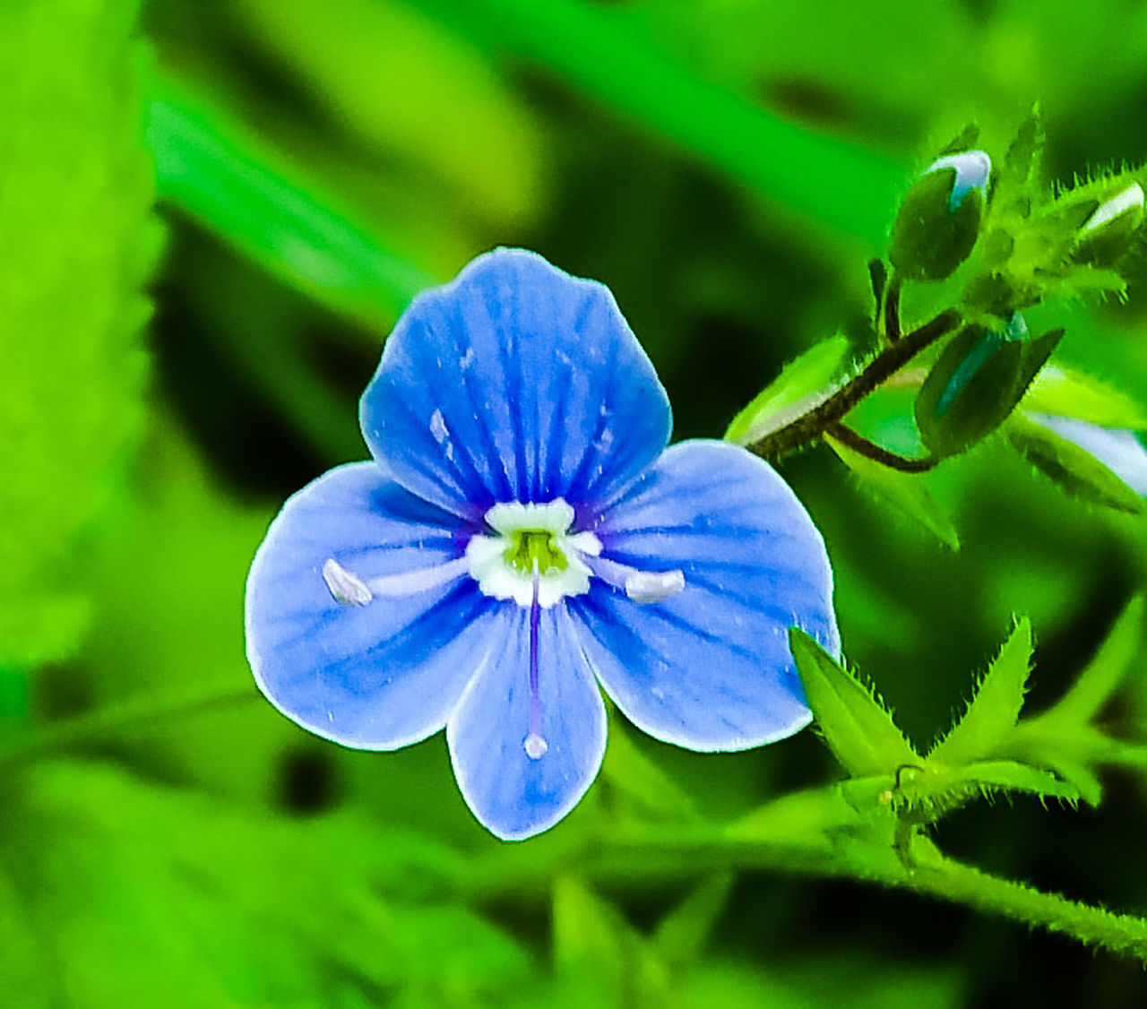 flower, nature, beauty in nature, plant, growth, blue, fragility, petal, no people, blooming, freshness, close-up, outdoors, flower head, day
