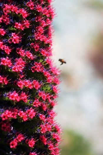 Flower Nature Outdoors No People Growth Insect Plant Day Springtime Fragility Close-up Beauty In Nature Bee Animal Themes Buzzing Freshness Flower Head Bee 🐝 Tajinaste Teide Tenerife