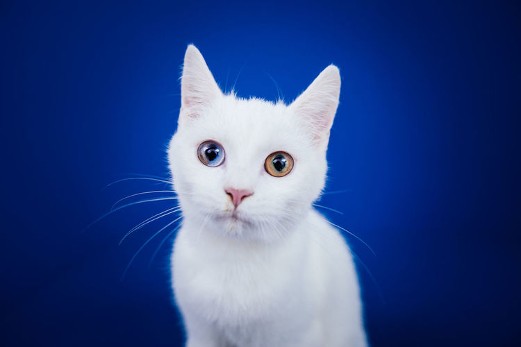 Close-up portrait of cat against blue background