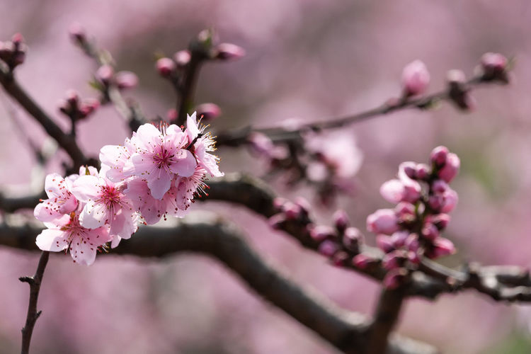 peach tree flower in Longquanyi , Chengdu Flower Flowering Plant Plant Pink Color Freshness Fragility Beauty In Nature Vulnerability  Branch Tree Blossom Growth Close-up Springtime Nature Cherry Blossom Petal Focus On Foreground Inflorescence No People Flower Head Cherry Tree Outdoors Pollen Plum Blossom Peach Peach Blossom Peach Tree Pink Flower Spring Spring Flowers