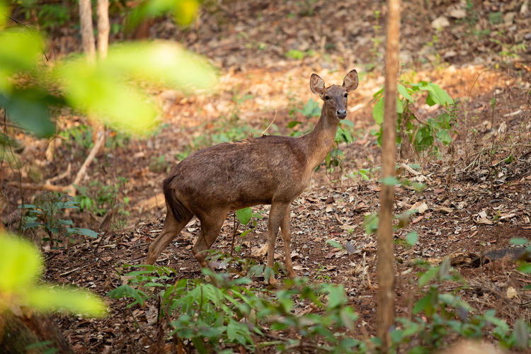 Side view of deer on land