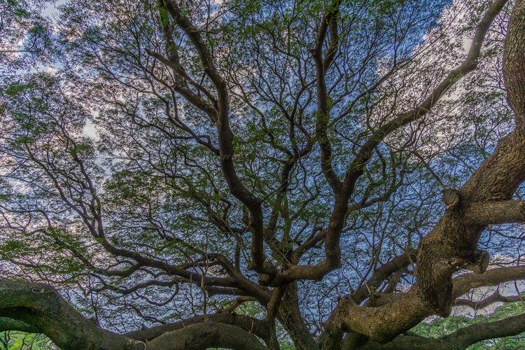 ใต้ต้นไม้ใหญ่อากาศสดชื่น สดใส สดชื่น กิ่ง กิ่งไม้ ใบไม้ Tree Low Angle View Growth Nature Day Branch Beauty In Nature No People Forest Outdoors Sky Freshness