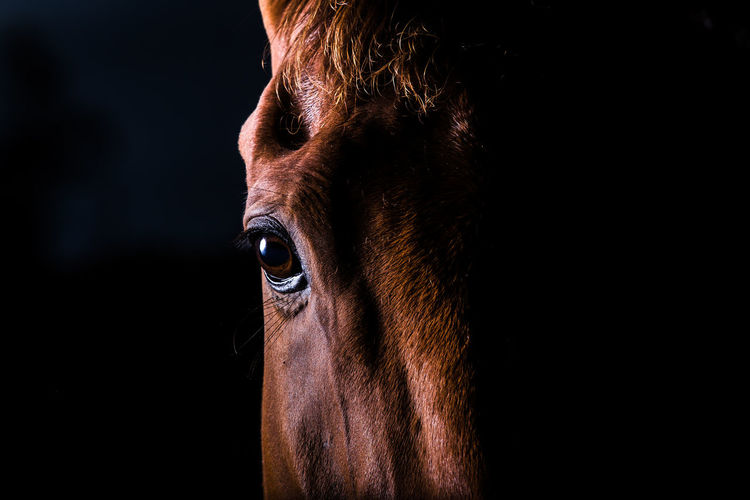 Portrait Of Brown Horse Against Black Background