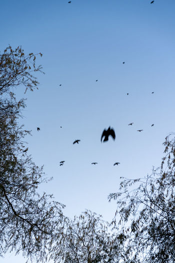 Crow hour at Trout Lake Animal Themes Animal Wildlife Vertebrate Animal Bird Animals In The Wild Flying Group Of Animals Low Angle View Sky Tree Plant Large Group Of Animals Nature No People Beauty In Nature Mid-air Day Spread Wings Winter Outdoors Flock Of Birds Crows Trout Lake