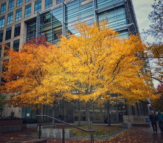 Color burst! Tree Building Exterior Built Structure Change Architecture Autumn Outdoors City Growth Day Nature No People ShotOnIphone Cambridge MA