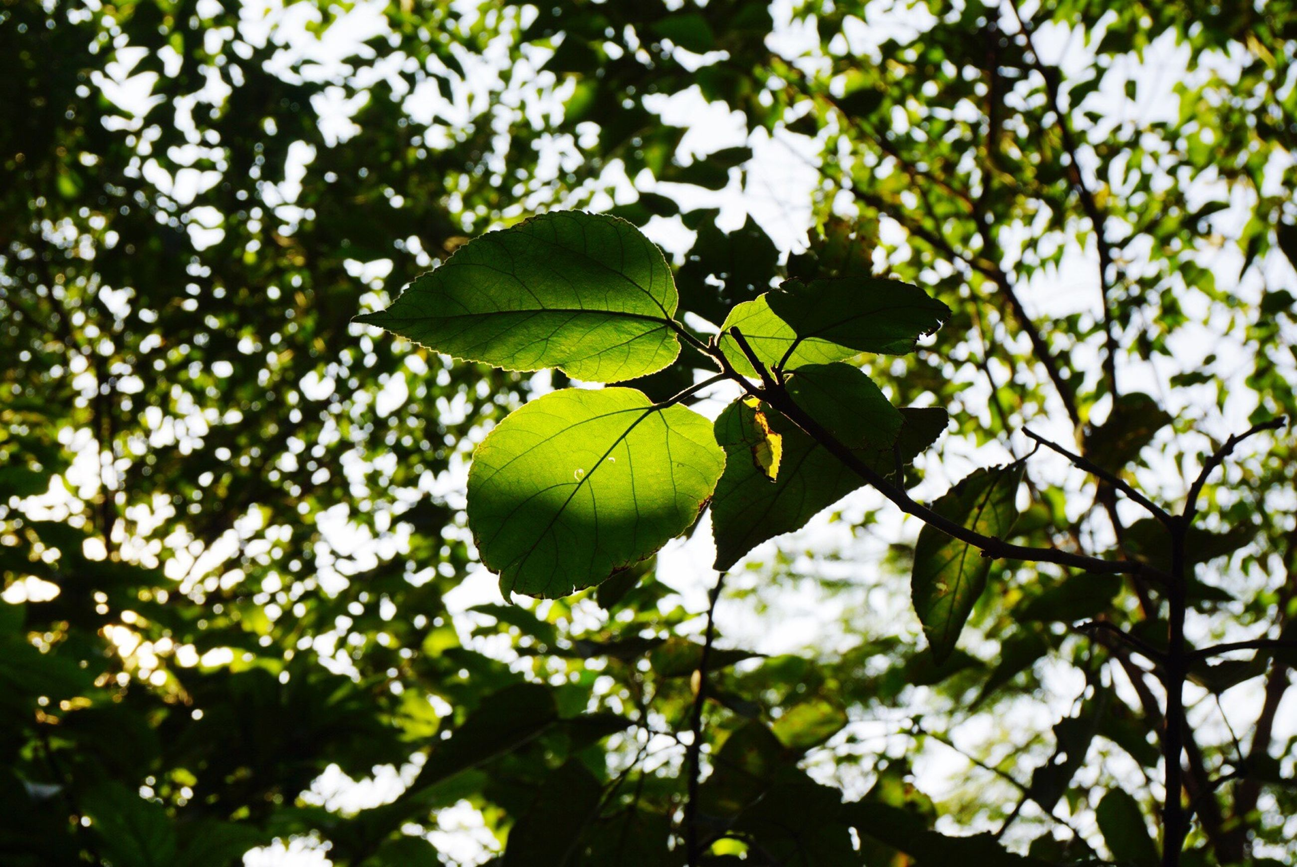 leaf, growth, tree, branch, green color, low angle view, nature, close-up, focus on foreground, leaves, leaf vein, beauty in nature, tranquility, day, outdoors, sunlight, no people, plant, green, twig