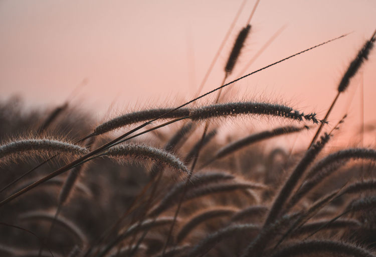 Close-up of stalks against sky at sunset