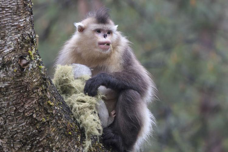 Yunnan Snub-Nosed Monkey Sitting On Tree