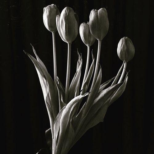 Tulipe Black