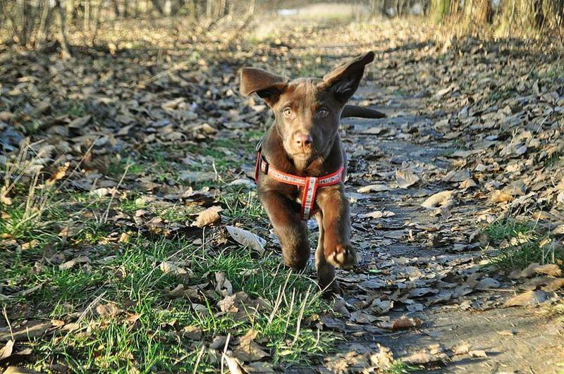Crazydog Dog Puppy Labrador Love♥ Pet
