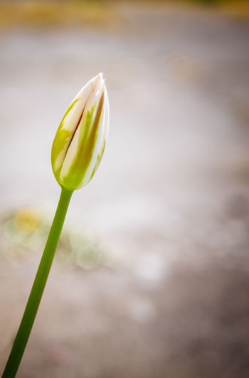 Close-up of rose bud in water