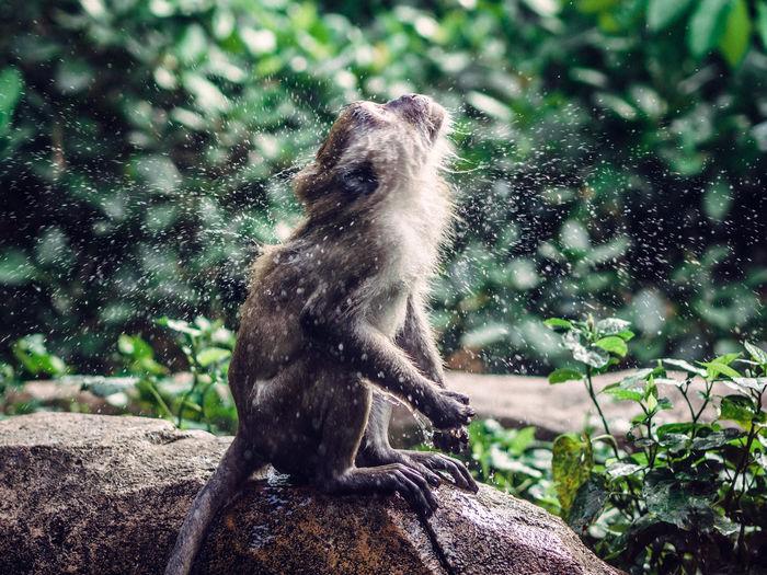 Monkey Shaking Off Water On Rock
