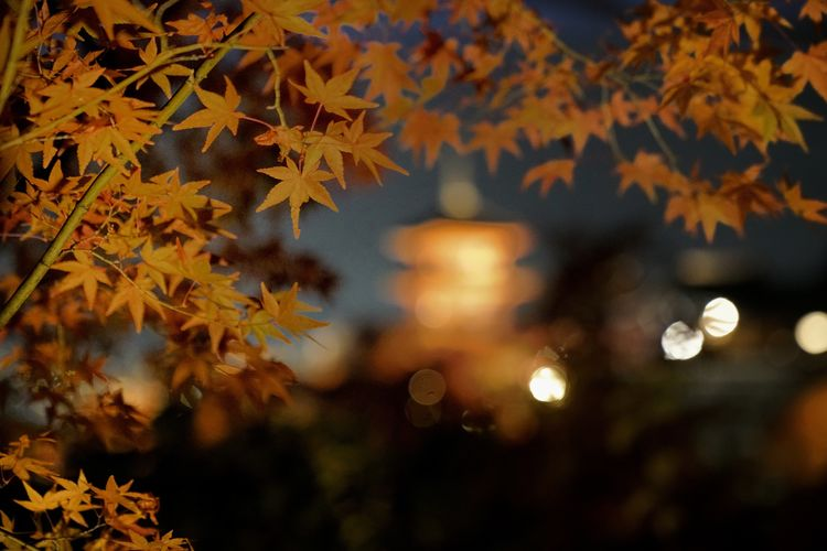 Dreaming of KiyomizuTemple in Autumn. Please share your view by comparing my previous post with this. My Japan Journey Shrine Temple Pagoda Autumn Autumn colors Autumn Leaves Autumn Leaves Frame Landscape Night Sony Nature Nightscape Bokeh Peace Scenics EyeEm Best Shots EyeEmNewHere EyeEm Nature Lover EyeEm Selects EyeEm EyeEm Gallery EyeEmBestPics Eyeemphotography EyeEm Masterclass Travel Destinations Exercise Calm Tranquility Tranquil Scene Travel Heritage Building Heritage Japan Japan Photography EyeEmbestshots Tree Defocused Autumn Leaf Change Close-up Sky Maple Tree Leaves Maple Leaf Fallen Fall Maple Autumn Collection My Best Photo