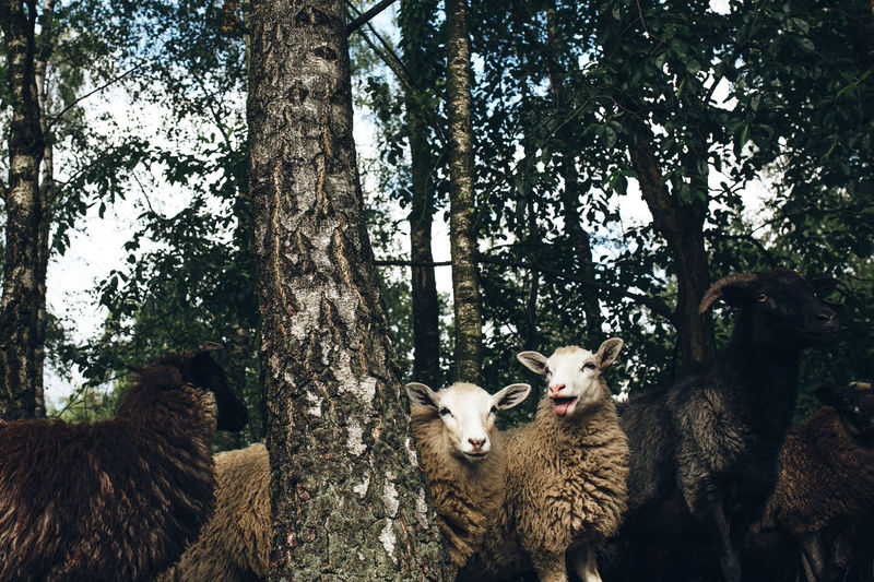 Flock of sheep on tree trunk