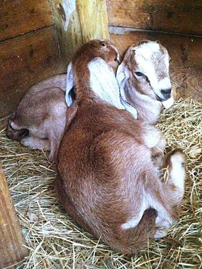 Farm Life Goats Serenitygoats Baby Goats Goatfarm Goat Life Serenitygoats