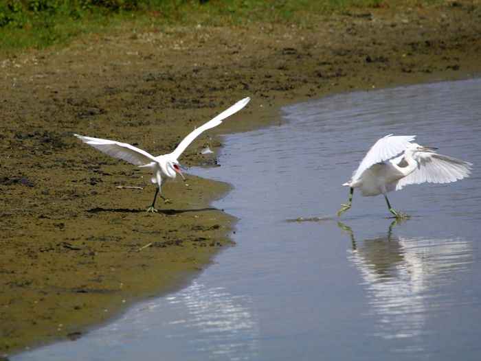 Animal Themes Animal Wildlife Animals In The Wild Beauty In Nature Bird Day Egret Flying Full Length Great Egret Lake Mid-air Nature No People Outdoors Reflection Spread Wings Water Waterfront White Color