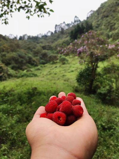 Human Hand One Person Human Body Part Hand Fruit Healthy Eating Food And Drink Personal Perspective Red Unrecognizable Person Nature Freshness Wellbeing Tree Food Focus On Foreground Plant Berry Fruit Holding Day