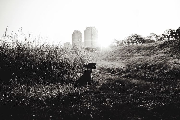 Indogwetrust Monochrome Blackandwhite Sunset Dog English Bull Terrier Nature Plant Sunlight Sky Lifestyles Silhouette Field Outdoors Leisure Activity Adventures In The City