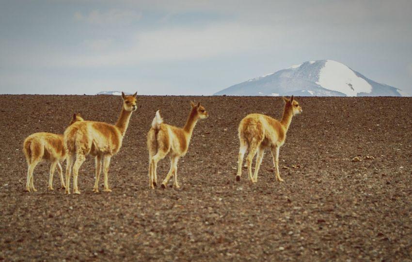 Latinoamerica Sudamerica Argentina Larioja Laguna Brava Puna Vicuñas Cordillera De Los Andes Montañas❤ Travel # traveling #traveller