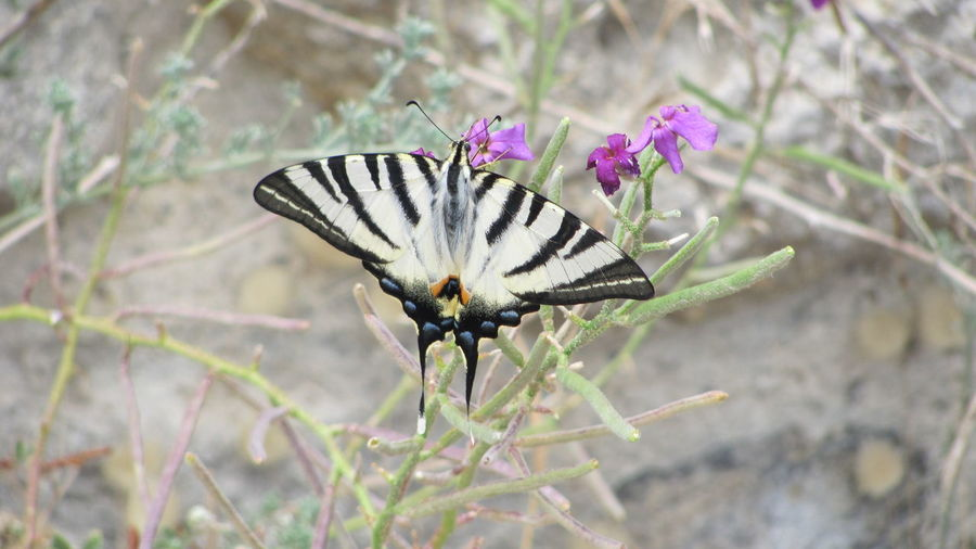 #FirstEyeEmPicture #IPHICLIDES PODALIRIUS Animal Themes Animals In The Wild Botany Butterfly Flower Fragility Insect Leaf Nature New Life One Animal Plant Selective Focus Springtime Wildlife