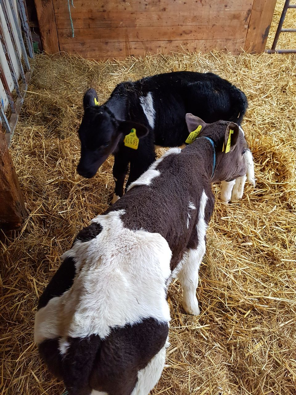 pets, domestic, domestic animals, mammal, animal themes, group of animals, animal, vertebrate, livestock, hay, high angle view, cattle, plant, cow, young animal, no people, shed, straw, goat, indoors, herbivorous, animal pen, animal family