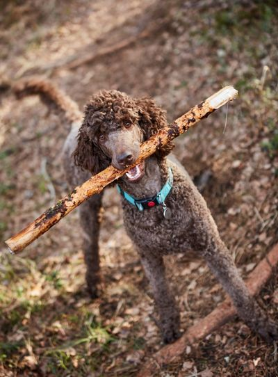 Portrait of standard poodle carrying stick in mouth on field