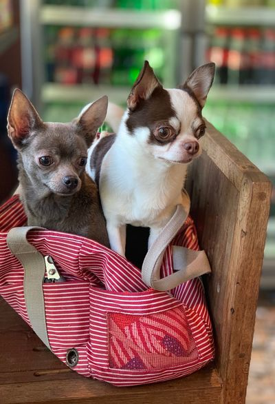 50+ Chihuahua - Dog Pictures HD | Download Authentic Images