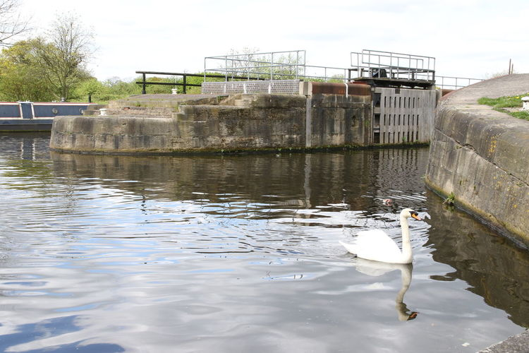 Aire Animal Themes Animals In The Wild Architecture Bird Bridge - Man Made Structure Calder Calm Canal Day Lock Cut Nature Navigation No People Outdoors Sky Swan Water