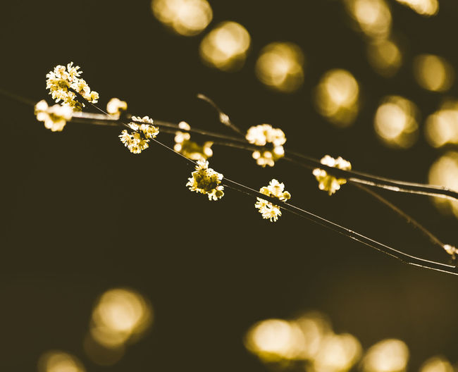 Sunbathing in Spring Background Beauty In Nature Bokeh Branch Branches And Leaves Close Up Close-up Day depth of field Flower Flower Head Focus On Foreground Fragility Freshness Growth Illuminated Nature No People Olive Green Outdoors Plant Springtime Tree Twig White Flowers