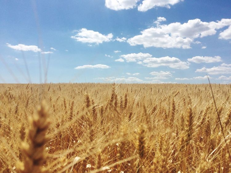 Ukrainian Field Sky Growth Nature Landscape Cloud - Sky Tranquility Agriculture Day Tranquil Scene Beauty In Nature Rural Scene Plant No People Scenics Outdoors Cereal Plant Wheat Grass