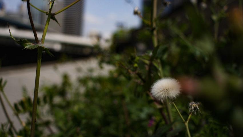 Plant Close-up Flower Head Day City Takumar 28mm F3.5 Nex5 City Life Fluffy